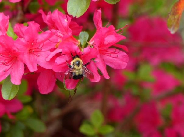 Azalea with bumblebee