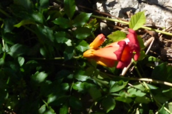 Last of the Trumpet Vine